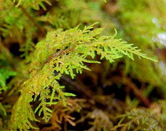 Live moss, Red fern leaved for terrarium, vivarium, miniature gardens or craft projects. Fresh from my forest, Give a natural look.