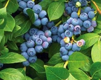 5 Duke Blueberry 12 - 18 inches tall bare root Plant
