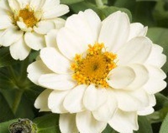 "White flower Seeds ""Zinnia profusion"" for the garden. Beautiful flower, 75 Seeds"