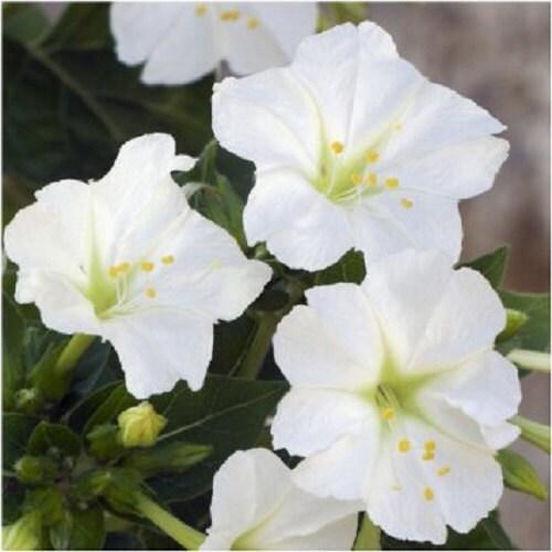 Mirabilis jalapa white flower seeds four o 39 clock - Fleur en forme de trompette ...