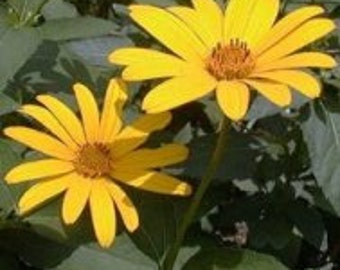 Yellow Heliopsis Seeds
