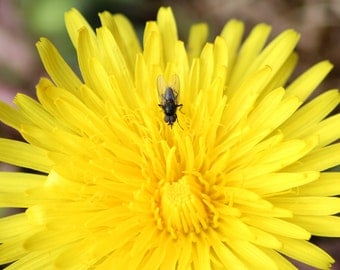 Dandelion Fine Art Photography Digital Download Nature Insect
