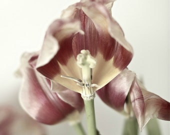Flower fine art photography TULIP
