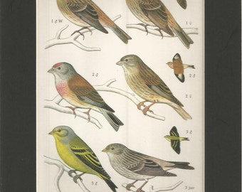 vintage colourful 1970s small bird print of the families of finches ornithology wall decor