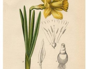 Narcissus Daffodil, Yellow Narcissus, Daffodil Narcissus, Daffodil Yellow, Narcissus Yellow, Narcissus Botanical, Daffodil Print, Daffodil