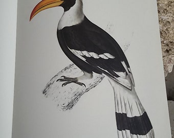 "The giant Hornbill""plank color"" annotated Illustration / natural history Museum / Vintage 70's"