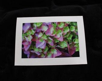 Hydrangea in bloom 5x7 photo notecard