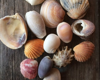 Sea Shells, Bulk Sea Shells, Genuine Sea Shells, Sea Shells for Grafts, Nautical Decor