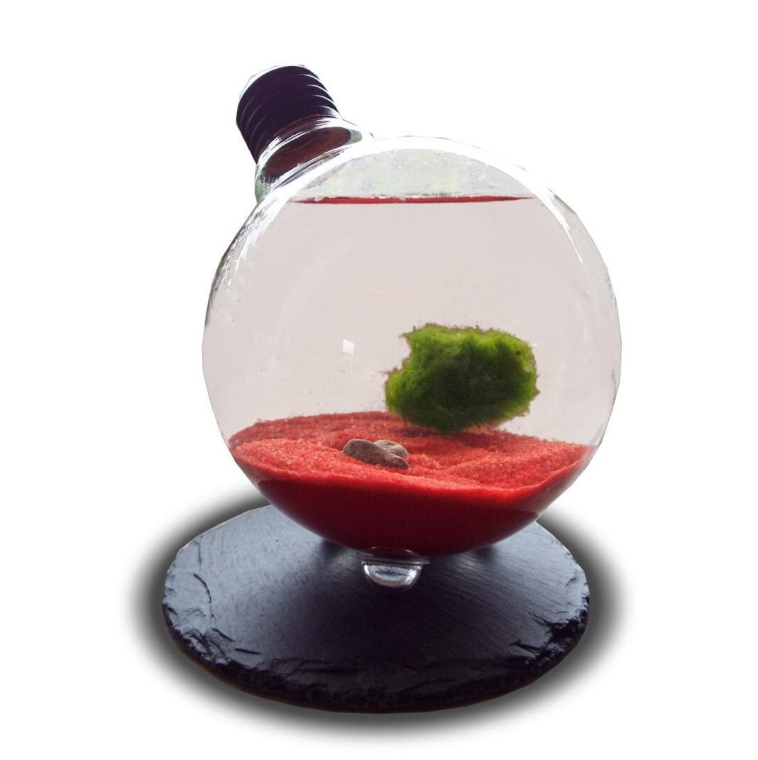 Marimo moss ball in light bulb terrarium japanese moss for Marimo moss ball
