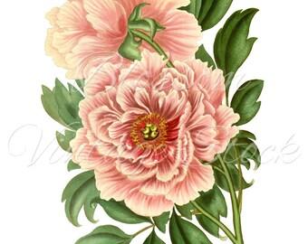 Vintage Peony Illustration Daisy Clipart Pink Flo...