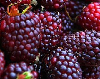 Brandywine - Purple Raspberry Plant - Everbearing - Organic