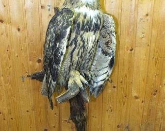 EAGLE OWL - my new taxidermy - only EU ! ! !