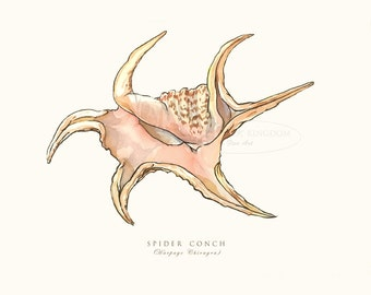 Spider Conch, Seashell Print, Shell, Coastal art, Illustration, Beach decor, Nautical Art, Sea life, Harpago Chiragra, Instant download,