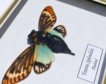 Real Cicada Tosena Splendida In Quality Shadowbox