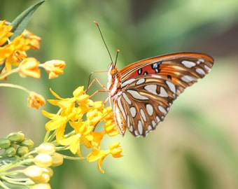 Gulf Fritillary Butterfly Photograph
