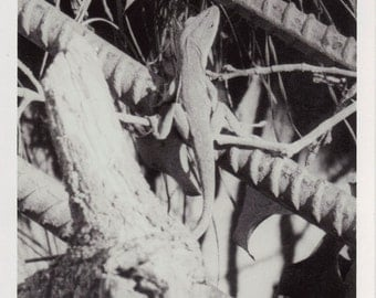 Lizard - Photograph
