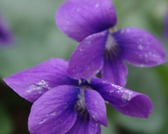 Wildflower- Wood Violet