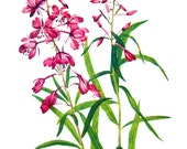 Flower Print - Fireweed, Broad Leaved Willow Herb - 1950's Vintage Botanical Illustration - Vintage Book Page - 2 Sided - 12 x 8