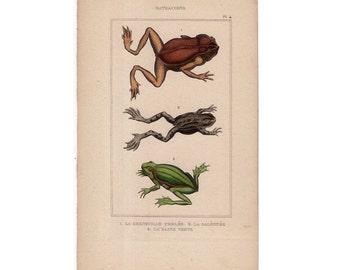 1830 ANTIQUE FROG ENGRAVING original antique hand colored print amphibian frogs