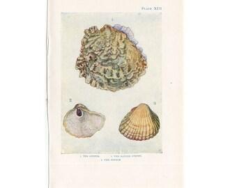 C. 1907 ANTIQUE SHELLS  LITHOGRAPH - original antique print - sea life marine beach ocean - shells oyster & mussel