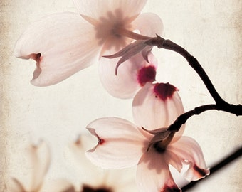 Amelia's Dogwood - Photograph - Nature Fine Art - Dogwood flower