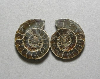 fossil AMMONITE cabochons matching pair two 25X30mm designer cabs