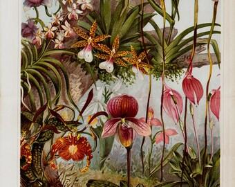 1889 Antique print, Amazing ORCHIDS lithograph, jungle forest, original antique 125 years older print