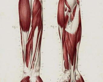 Antique print 1850  Antique ANATOMY print, Arm hand hand muscles, muscular system