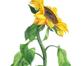 Sunflower original watercolor painting, original watercolor painting sunflower, original botanical art. original flower watercolor painting