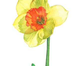 Daffodil print of watercolor painting, A4 size, D13716, Daffodil watercolour painting print, Daffodil painting print. Botanical art