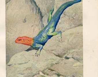 Vintage Print Lizard Red Headed Rock Agama Wall Art Brehms Tierleben 1920s