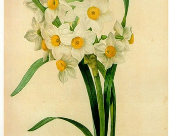 Vintage LARGE Botanical Print Antique REDOUTE NARCISSE 62 Flower print botanical print bookplate art flowers flower wall print wall art