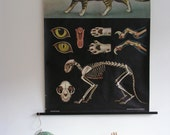Pull Down School Chart, Biological, Zoological Print, Cat, Jung Koch Quentell, Vintage 1950s 1960s