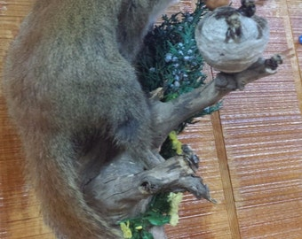 Taxidermy Squirrel on Limb w/ Bees/Hive and Nut