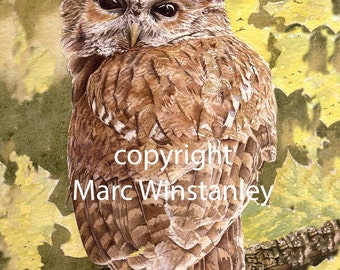 Tawny Owl Watercolour Painting