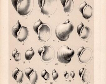 1909 Snails Print, Gastropod Molluscs, Shells Illustration, Freshwater Snail Shells Chart, Antique Print, Vintage Lithograph Natural History