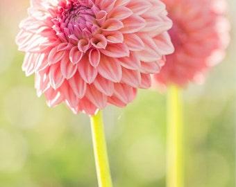 """Discounted 8x10"""" dahlia photo print - pink peach botanical art print"""