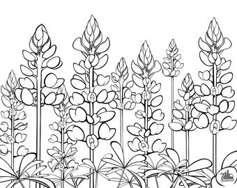 Bluebonnet Flower Coloring Page Bluebonnets Texas State Flower Pressed Flowers Austin
