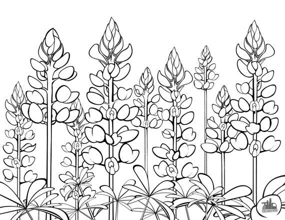 Bluebonnet Flower Coloring Page Texas Bluebonnets Coloring Sheet