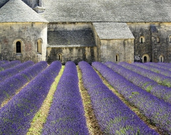 Lavender in Full Bloom Senanque Abbey Provence France