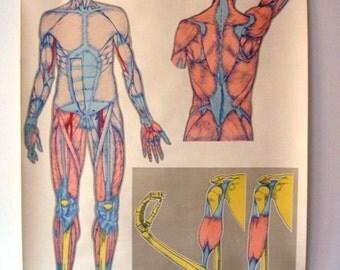 1960s Vintage anatomy chart, original dutch desing, large size