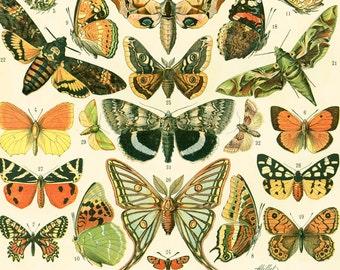 1897 European Butterflies Old world Antique Print Larousse Beetles Bugs Entomology Large Size 115 Years Old  Wall Art