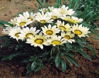 50 Seeds Gazania Mini Star White Gazania Seeds