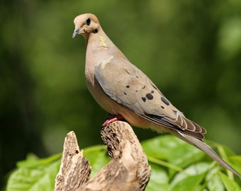 Mourning Dove, bird, nature, photo, print, photography, wall art, home decor, nature photography, free shipping