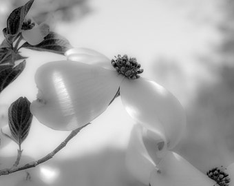 Dogwood #2150 - Fine Art Photography, Black and White, Spring, Blossoms, Nature Photography
