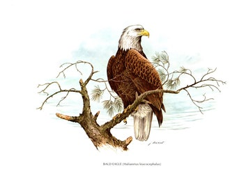 A large print( 15 inches wide and 12 inches tall) of the Bald Eagle painted by James Lockhart for the book Wild America
