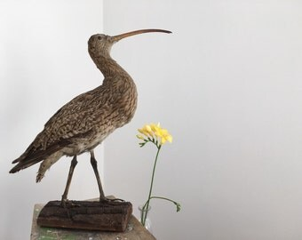 Former CURLEW on wooden base.