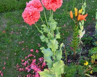 Purple poppy, heirloom seeds