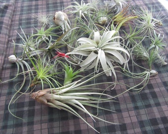 Tillandsia Air Plant Assortments (many options)