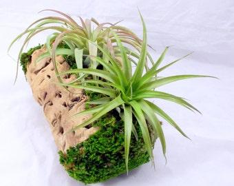 10 Inches Grape Wood Succulent and Air Plants Planter Centerpiece